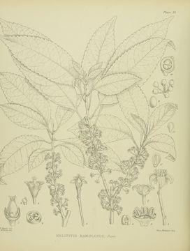 Image of <i>Melicytus ramiflorus</i>