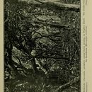 Image of Native Cedar Kohekohe