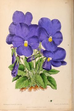 Image of Horned Violets