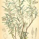 Image of slender velvet bush