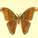 Image of <i>Attacus caesar</i> Maassen (1872)