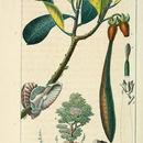 Image of <i>Kandelia candel</i> (L.) Druce