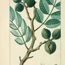 Image of cabbagebark tree