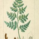 Image of Leatherleaf Fern