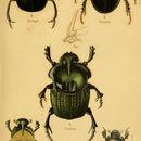 Image of <i>Scarabaeus sacer</i> Linnaeus 1758