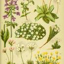 Image of <i>Horminum pyrenaicum</i> L.