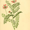 Image of crownvetch