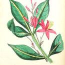 Image of quassia wood