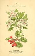 Image of Calycine Hawthorn