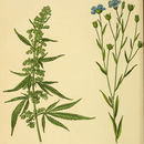 Image of hemp