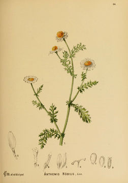 Image of dogfennel