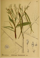 Image of Indian hemp