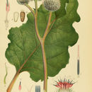 Image of woolly burdock