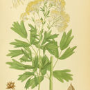Image of common meadow-rue