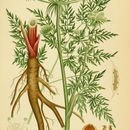 Image of hogfennel