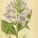Image of giant bellflower