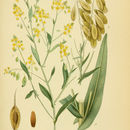 Image of Dyer's woad