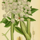 Image of <i>Angelica sylvestris</i> L.