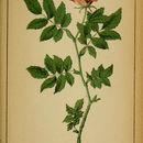 Image of alpine rose