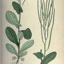 Image of hare's ear mustard