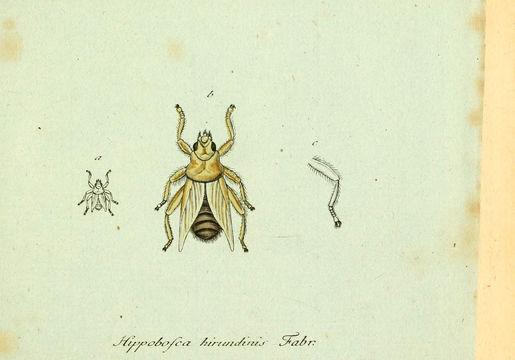 Image of <i>Hippobosca hirundinis</i>