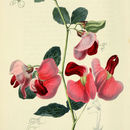 Image of Two-flowered Everlasting-pea