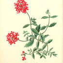Image of Peruvian mock vervain
