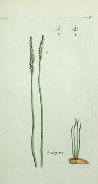 Image of Common Spike-rush