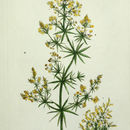 Image of Yellow Spring bedstraw