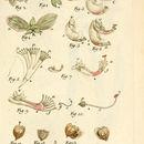 Image of myrtle-leaf milkwort