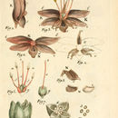 Image of honey-flower