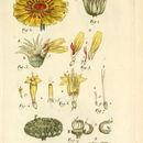 Image of pot marigold
