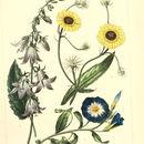 Image of rampion bellflower