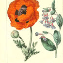 Image of Oriental poppy