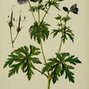 Image of meadow crane's-bill