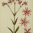Image of <i>Lychnis flos-cuculi</i>