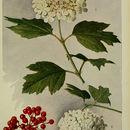 Image of European cranberrybush