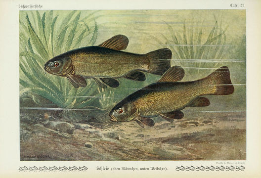 Image of tench