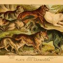 Image of Mackenzie Valley wolf