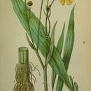 Image of Greater Spearwort