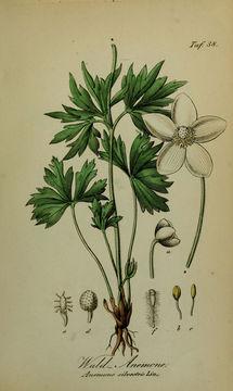 Image of anemone