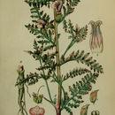 Image of European purple lousewort