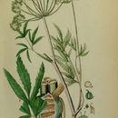 Image of European Waterhemlock