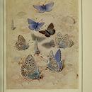 Image of <i>Lycaena bellargus</i>