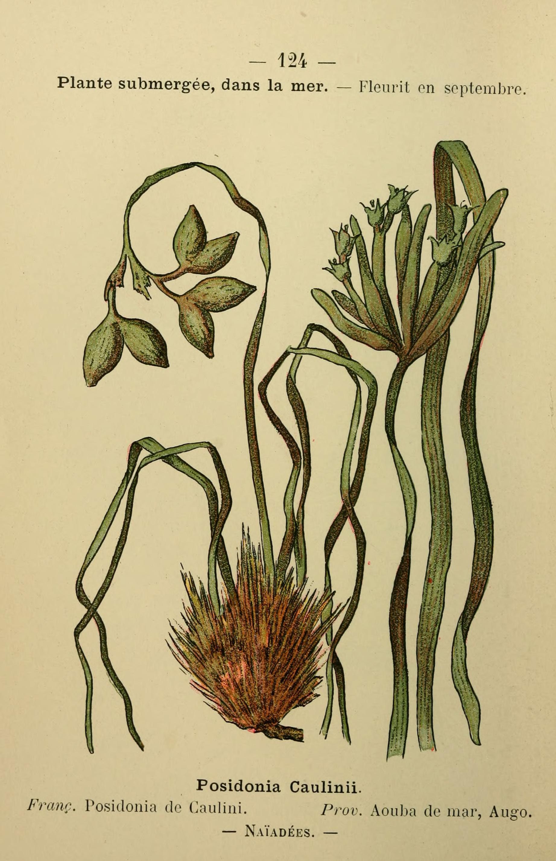Image of Neptune grass