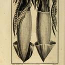 Image of <i>Calmar harpon</i>
