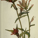 Image of giant red Indian paintbrush