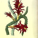 Image of rat-tail cactus