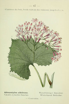 Image of Hedge-leaved Adenostyle