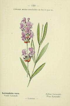 Image of Pyrenean lavender